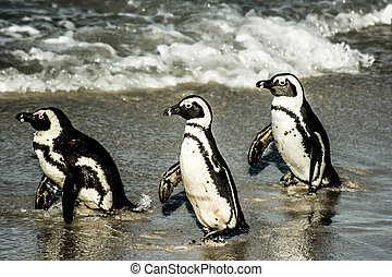 African pinguins at Bolders Beach in South Africa
