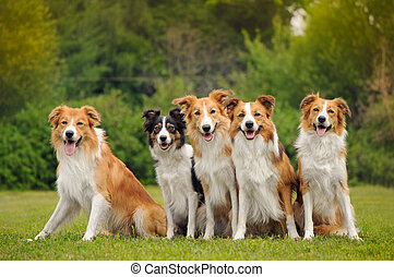 group of five happy dogs border collie sitting on the grass...
