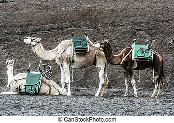 camels at Timanfaya national park wait for tourists for a...