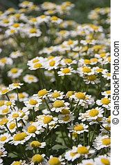 Ox-eye daisys - Hot summer day in wood