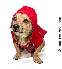 fitness dog - a cute dachshund in sweatshirt