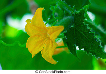 small cucumber with flower and tendrils - small cucumber...