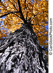 Big autumn tree in fall park - Big old autumn elm tree in...