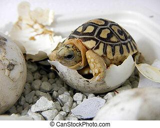Leopard tortoise baby - Hatching leopard tortoise Geochelone...