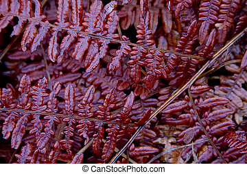 Red fern Leaves - Closeup of leaves of red fern