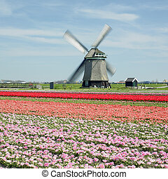 windmill with tulip field near Sint-Maartens-vlotbrug,...