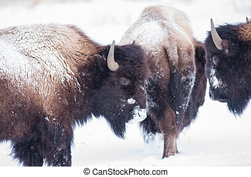 Bisons during winter in Yellowstone