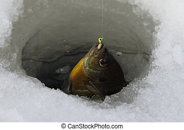 Bluegill with micro jig ice fishing