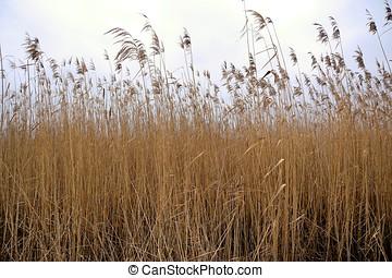 Reed at a lake