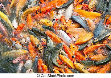 Carp fish farming in a lake