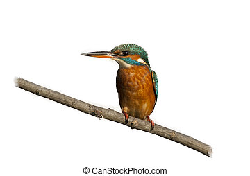 Female Kingfisher isolated on white Background - Female...