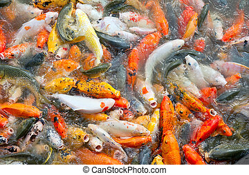 Carp fish farming in a lake