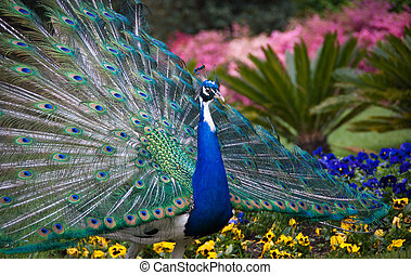 peacock showing its tail - peacock tail fully shown
