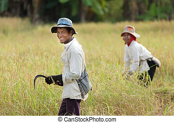 Rice workers - Workers harvesting rice in field, Thailand