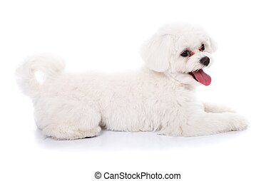 Cute bichon puppy - Side view of a beautiful lying bichon...