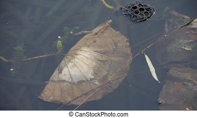 withered lotus leaf in water