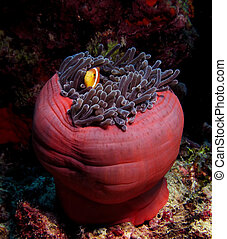 Clown Fish in the red anemone, Red Sea. - Clown Fish in the...