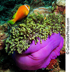 Clown Fish in the violet anemone, Red Sea, - Clown Fish in...