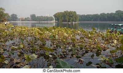Vast lotus pool lake,Fisherman on boat in beijing.
