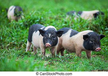 Vietnamese pig - vietnam pig