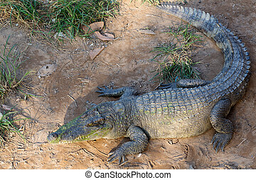 Grown into a crocodile lying on the sand in Thailand