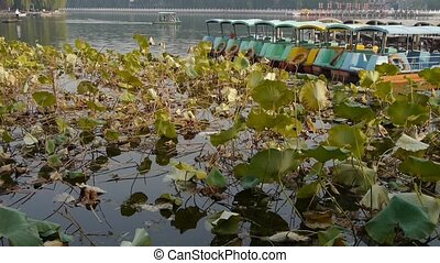 Vast lotus leaf pool in autumn beijing & lake bridge...
