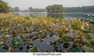 Vast lotus leaf pool pier in autumn beijing.many toy boat.