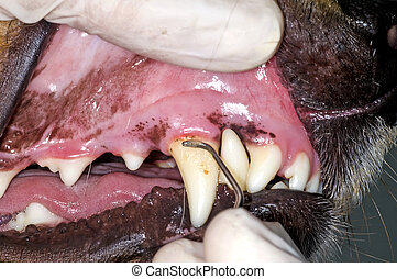 dog teeth removing tooth stone