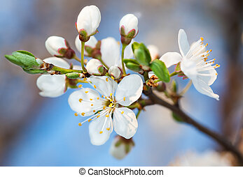 Spring flowers - Spring. Blossoming tree brunch with white...