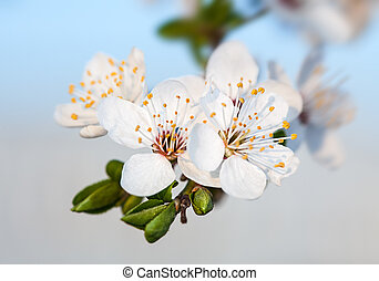 Spring flowers - Spring. Soft image of blossoming tree...