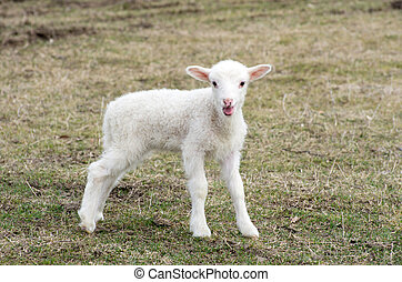 sheep  - A sheep in a pasture of grass