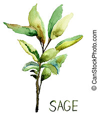Sage, watercolor illustration