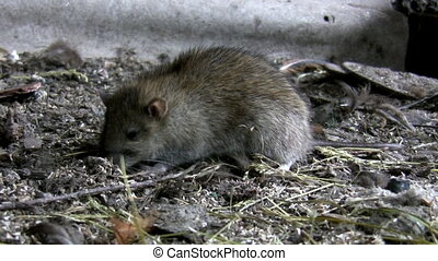 Rat eating in its natural habitat - Rat is feeding in its...