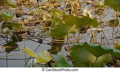 Vast lotus leaf pool in autumn