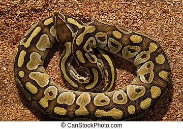 pitone, Palla, serpente