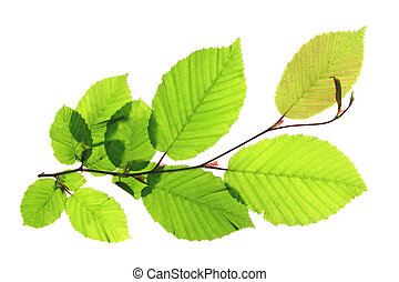 Hornbeam Carpinus betulus - Branch of a hornbeam tree...