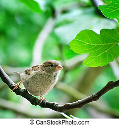 sparrow on a tree branch - sparrow  on a tree branch