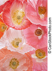 poppy - Studio Shot of Pink and Orange Colored Poppy Flowers...