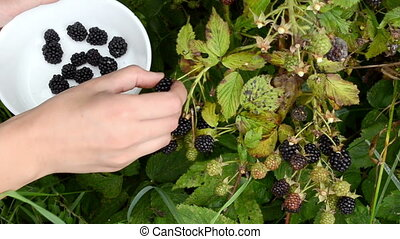woman timbleberry berry - woman hand pick gather collect...