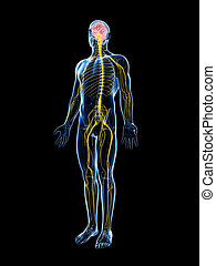 Highlighted male nerve system - 3d rendered illustration of...