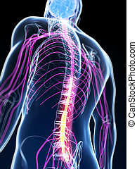 Highlighted spinal cord - 3d rendered illustration of the...