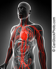 Human vascular system - 3d rendered illustration of the...