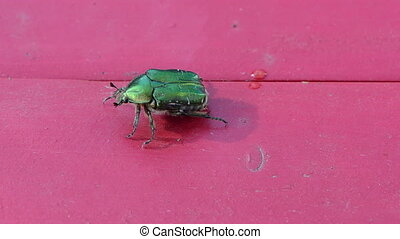 rose chafer green bug - close up rose chafer cetonia aurata...