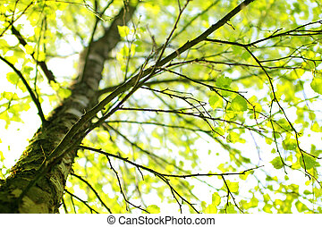 Springtime birch tree branch with fresh green leaves