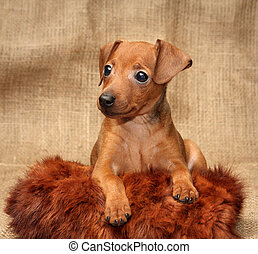 Miniature Pinscher puppy - The Miniature Pinscher puppy, 2...