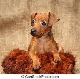 Miniature Pinscher puppy - The Miniature Pinscher puppy, 2...