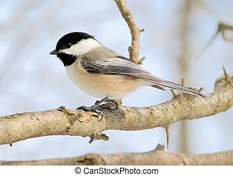 Black-capped Chickadee perched on a tree branch