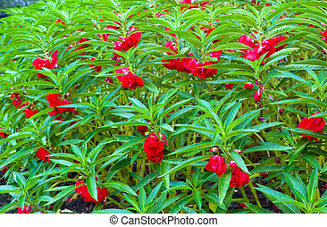 Red Garden Balsam, Impatiens Balsamina Linn flower in garden