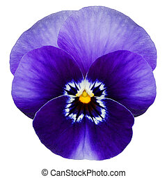 Deep blue pansy - Blue pansy flower isolated on white with...