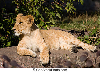 beautiful young lion resting on the stones